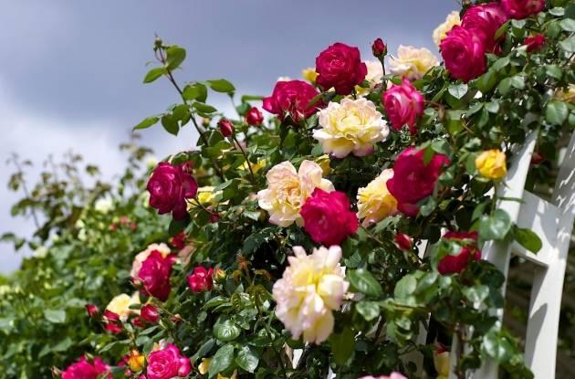 Роза пьер де ронсар: описание плетистого сорта, особенности выращивания и ухода