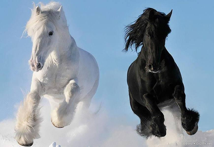 Арабская лошадь: виды породы и особенности содержания