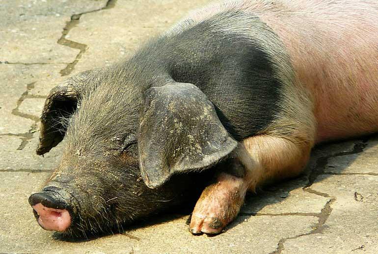 Почему свинья плохо ест и не растет, что делать в таком случае