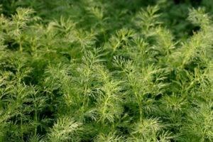 Кустистый укроп: характеристики и инструкции по выращиванию