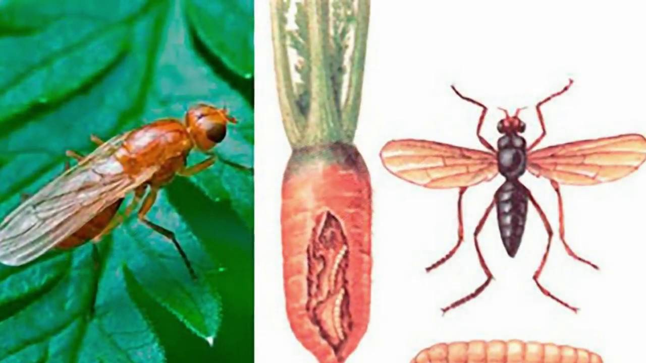 Эффективные народные средства для борьбы с морковной мухой