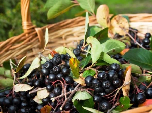 Как приготовить черноплодную рябину: заготовки на зиму