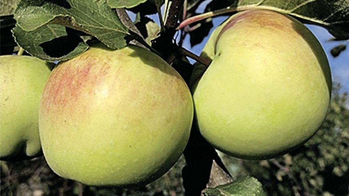 Яблоня алые паруса: особенности сорта и ухода