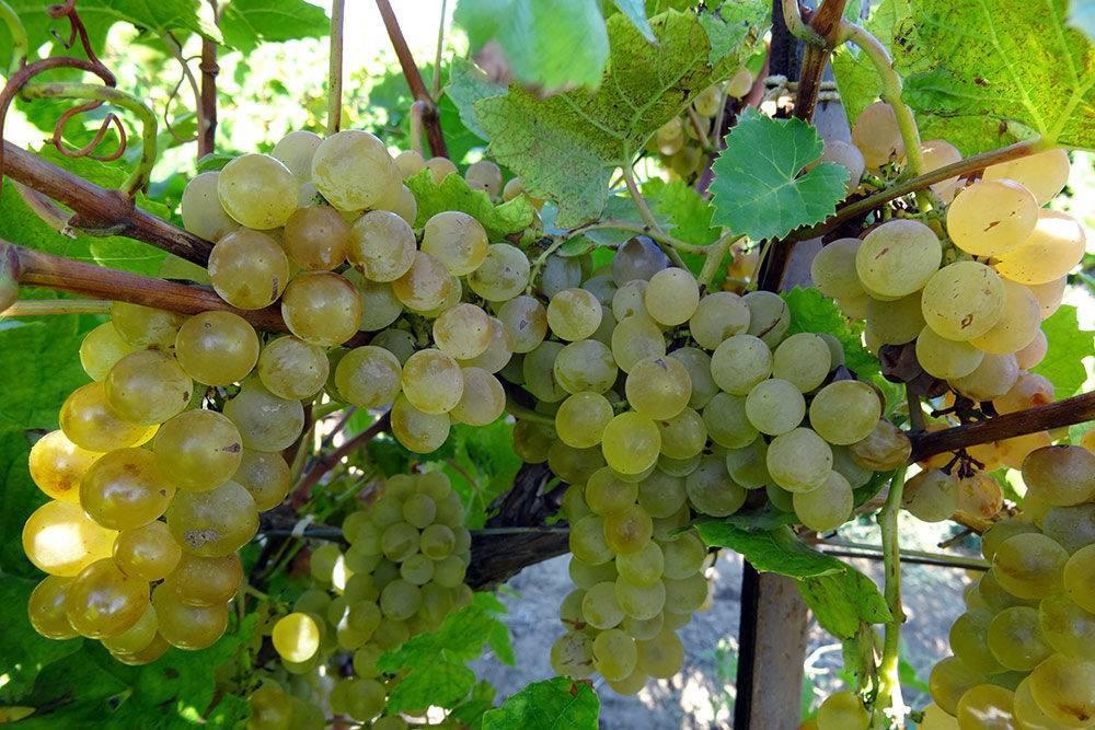 Виноград в первый год выращивания – советы по правильной посадке и уходу