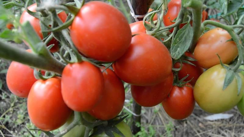 Томат фаворит: характеристика сорта, описание, отзывы, урожайность