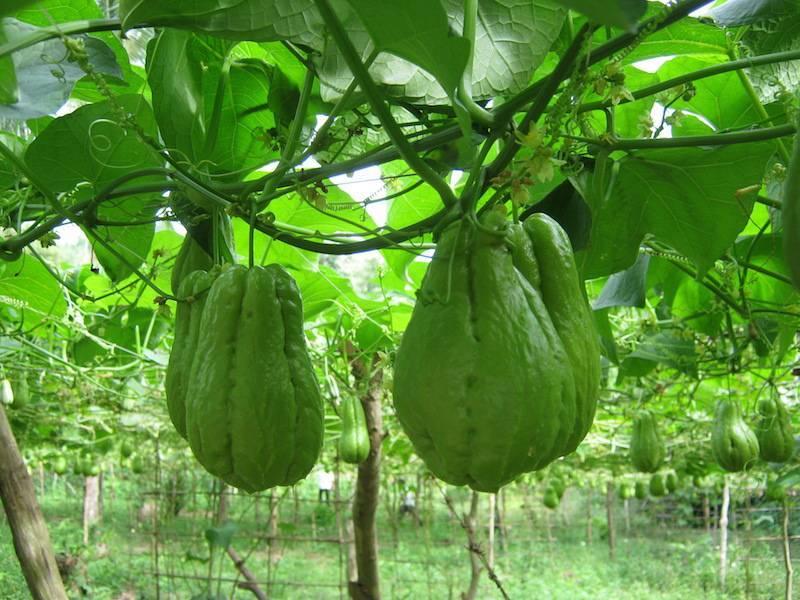 Мини-огурцы мелотрия шершавая: в чем особенность сорта и как правильно его выращивать?