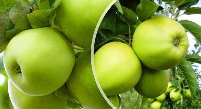 Сорт яблок с говорящим названием — изумительный