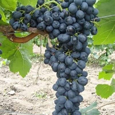 30 лучших сортов розового винограда