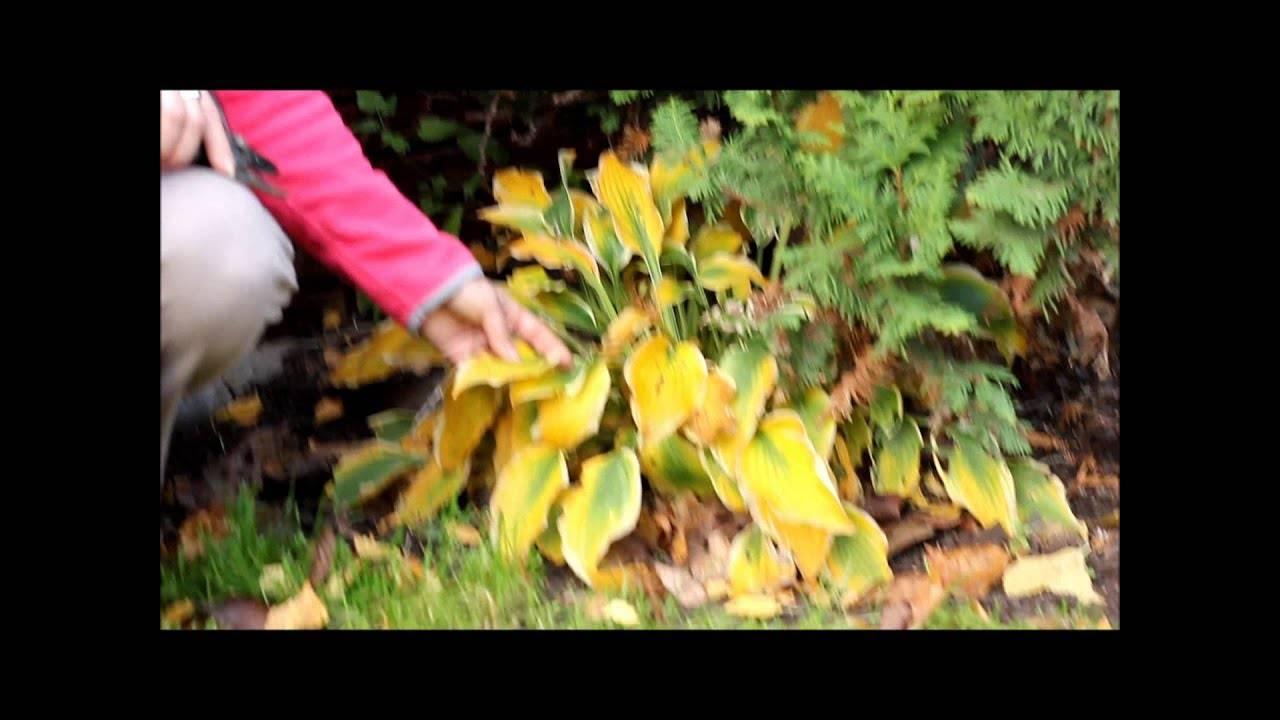 Хоста: когда и как правильно сажать осенью в открытый грунт