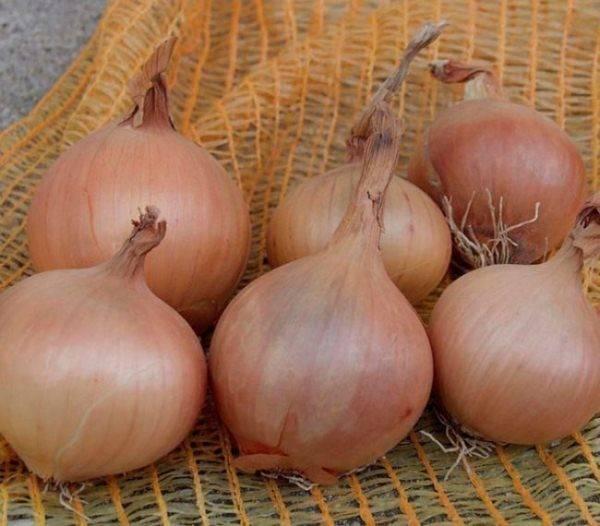 Высокоурожайный сорт лука «шетана» для длительного хранения