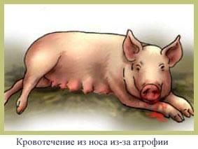 Признаки, симптомы и лечение пастереллеза свиней, профилактика
