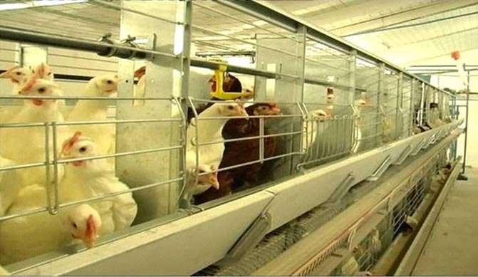 Кормление и световые режимы для выращивания яичных цыплят