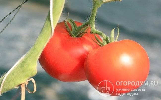 Характеристика и описание томата «пани яна»