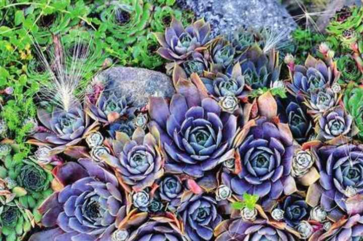 Выращиваем молодило: сорта, уход и размножение