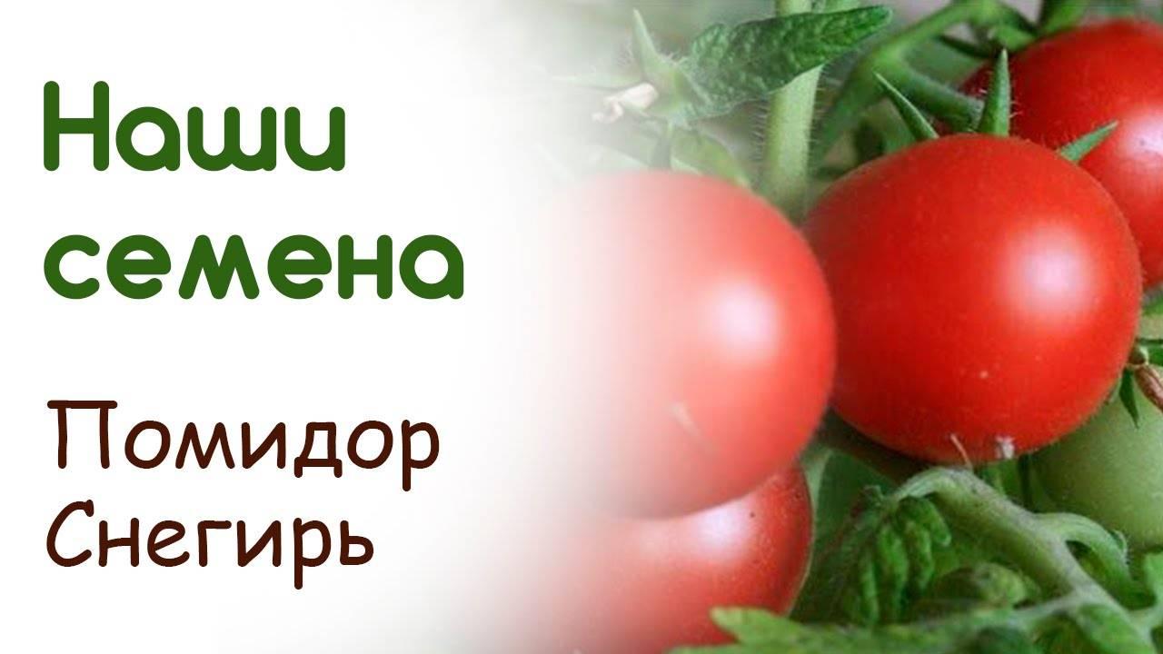 Новый суперраний томат «снегирь»: характеристика и описание сорта, фото