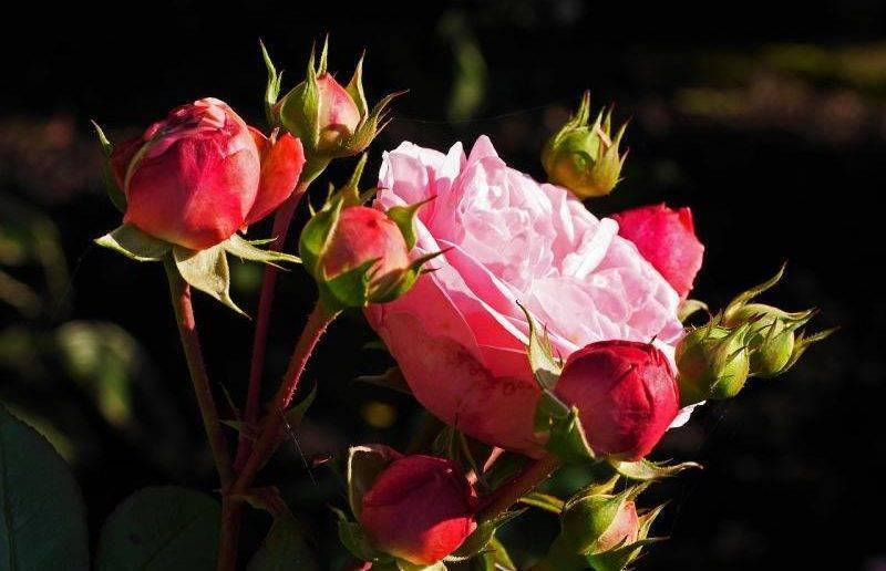 Роза флорибунда: описание популярных сортов с фото, посадка и уход