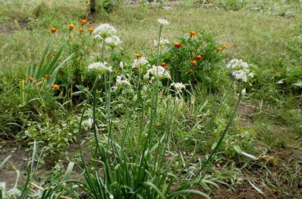 Многолетний лук с приятным запахом «джусай»