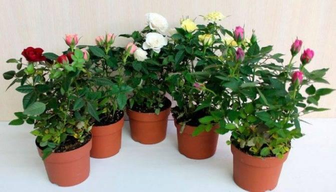 Роза Парад: описание сорта и характеристики, правила посадки и ухода
