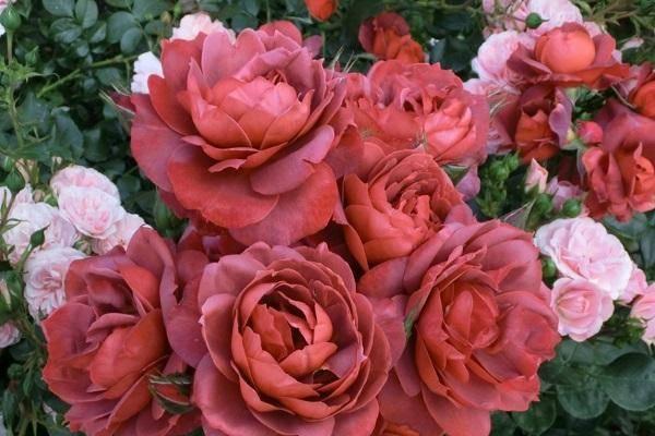 Описание и характеристики лучших сортов коричневых роз