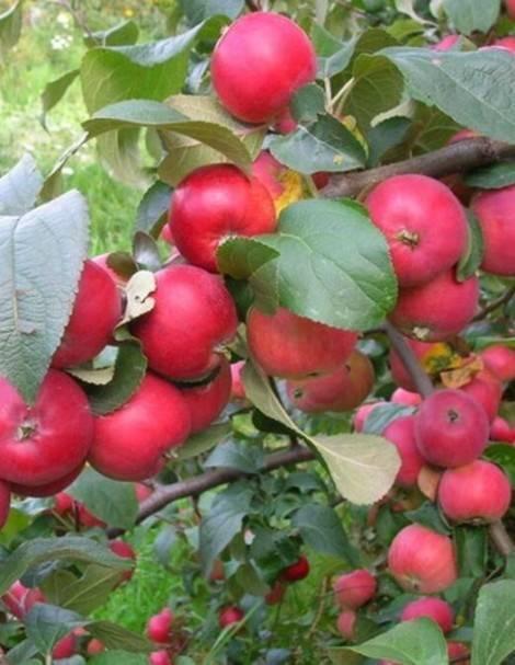 Позднезимняя иммунная к парше яблоня благая весть