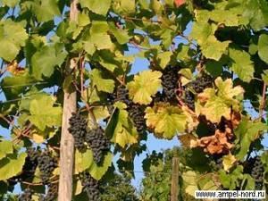 Прищипка и пасынкование винограда