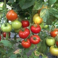 Верлиока – универсальный сорт помидоров для теплиц