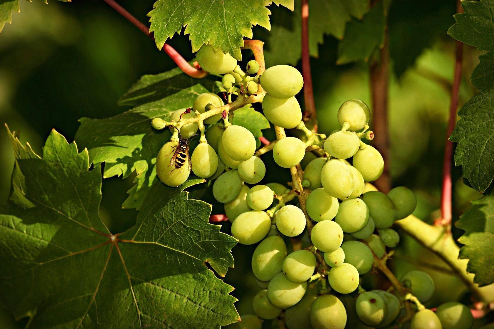 Как правильно посадить виноград (черенки): пошаговая инструкция