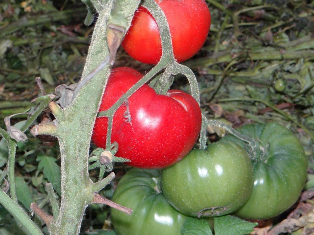 Томат под названием покоритель севера – описание гибрида, агротехника и отзывы