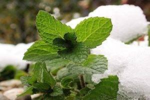 Описание сорта полевой мяты, лечебные свойства и противопоказания