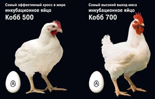 Бройлер кобб 700 – сверхтяжёлый мясной гибрид, который принесёт доход без сложностей в содержании