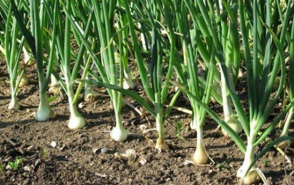 Лучшие 9 сортов лука-севка, для средней полосы — сроки созревания