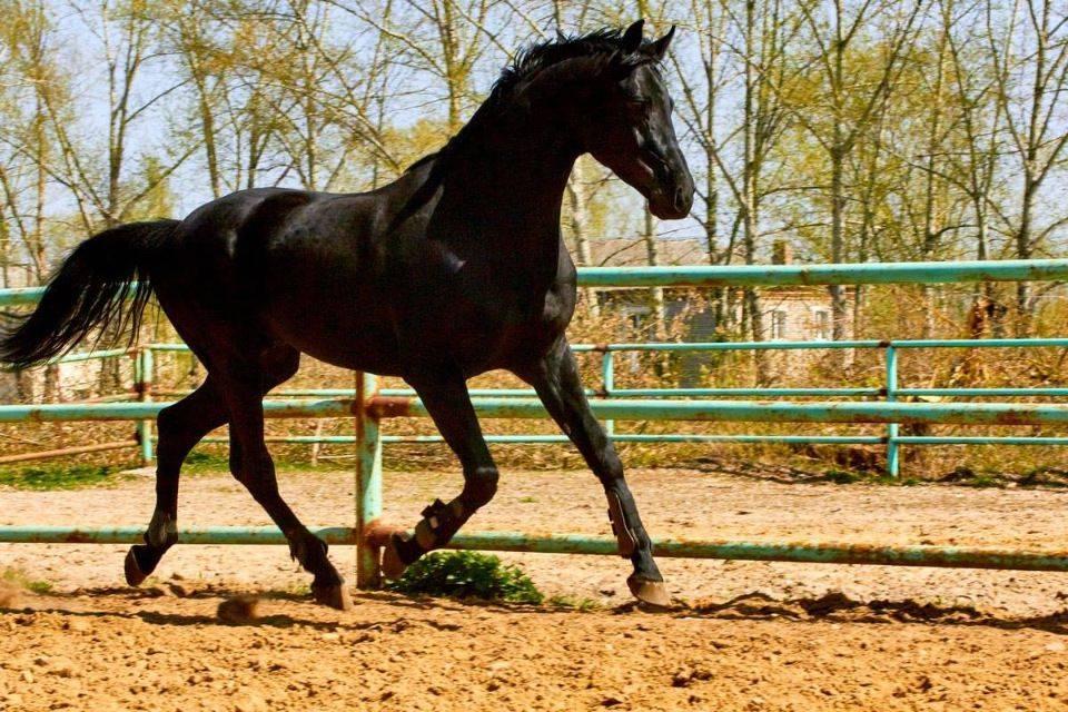 История и описание лошадей карачаевской породы, правила содержания и стоимость