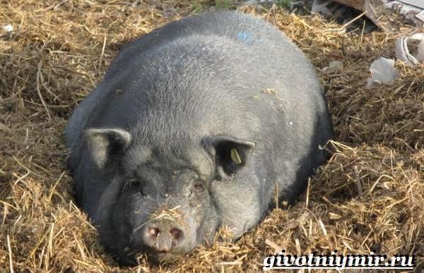 Вьетнамские свиньи разведение уход питание