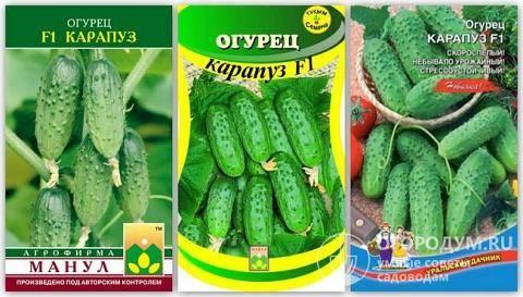 Сорт огурцов «надежный»: фото, видео, описание, посадка, характеристика, урожайность, отзывы