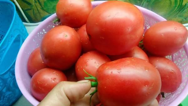 Особенности сорта и правила выращивания томата ольга f1