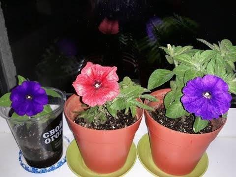 Как сохранить петунию до весны, уход за черенками и маточными растениями
