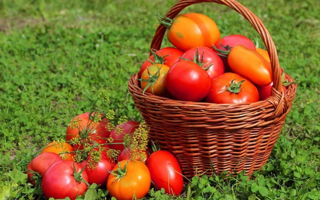Томаты для краснодарского края для открытого грунта: лучшие сорта помидоров
