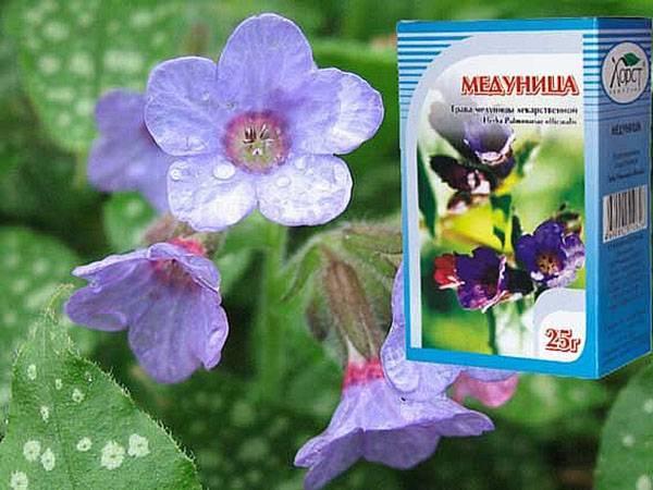 Описание медуницы, лечебные свойства и противопоказания