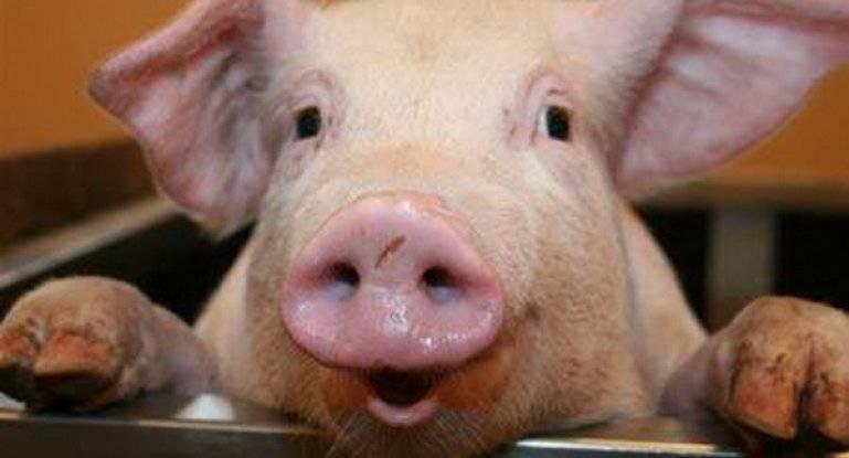 Катетеры для искусственного осеменения свиноматок