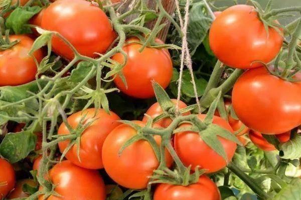 Томат шарада: описание и характеристика сорта, урожайность с фото