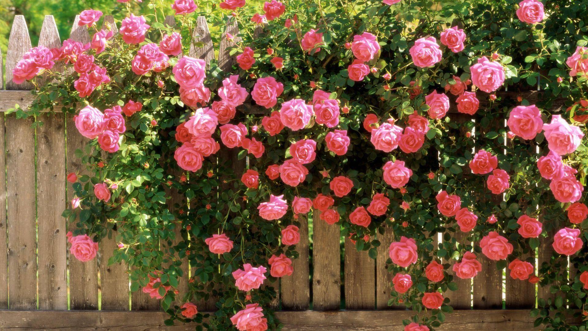 Чайно гибридные розы: популярные сорта, советы по посадке и уходу