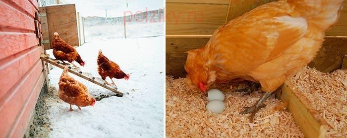 Простой рецепт, как повысить яйценоскость куриц в домашних условиях