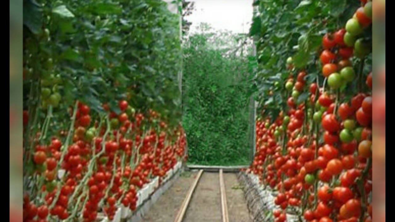 Обзор популярных сортов помидоров для теплиц: фото и характеристики