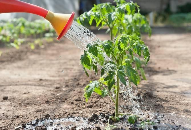 Как поливать рассаду помидор в теплице и открытом грунте