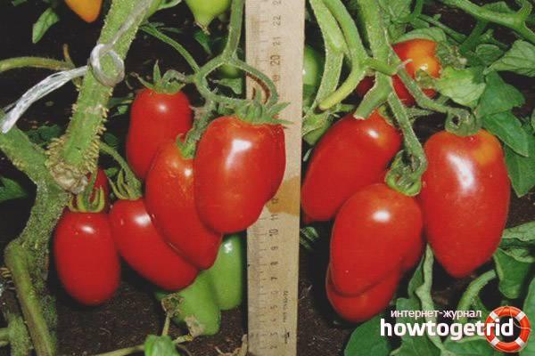 Какие жароустойчивые сорта томатов стоит посадить на юге россии в 2020 году