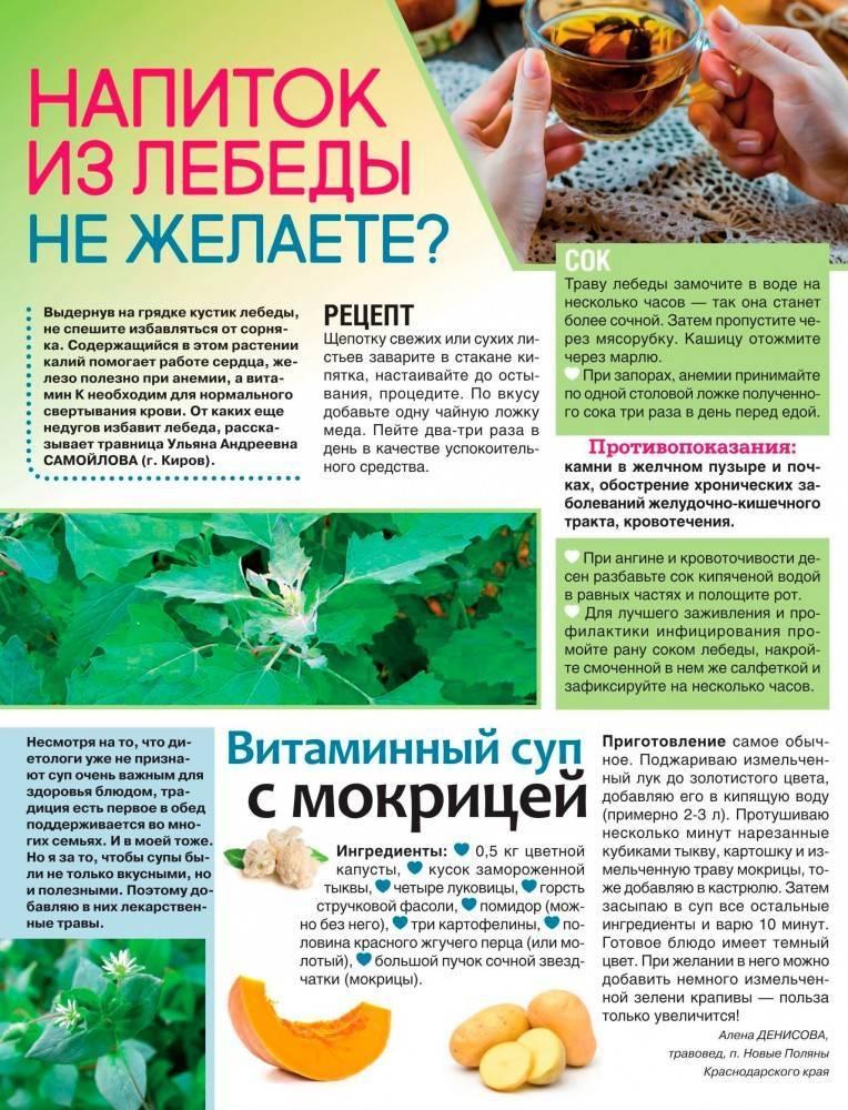 Мокрица трава: лечебные свойства и противопоказания, правила применения