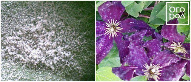 Болезни клематисов и их лечение: описание и методы борьбы, правила ухода за растением