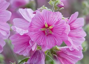 Описание лаватеры, особенности выращивания из семян и ухода за рассадой