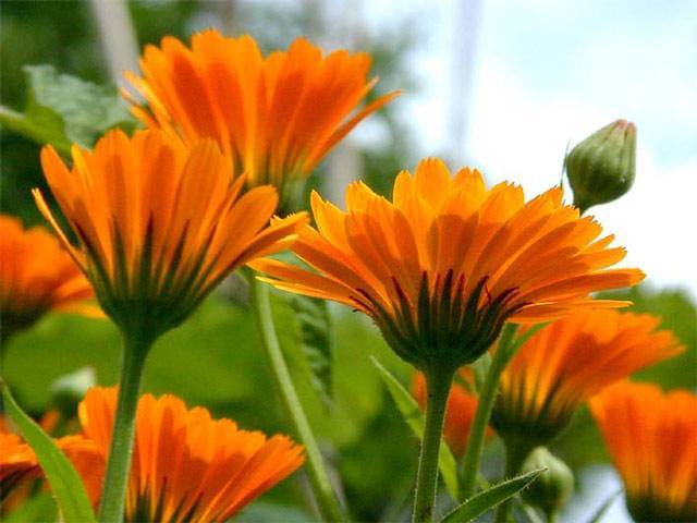 Растение календула: выращивание из семян, посадка, уход, обзор сортов
