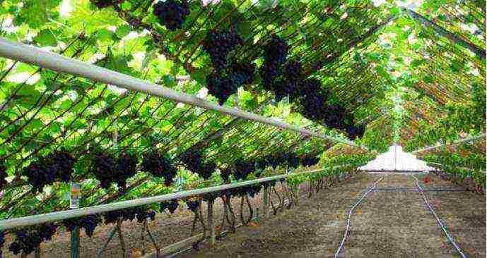 Правила выращивания винограда в теплице на даче, посадка и уход